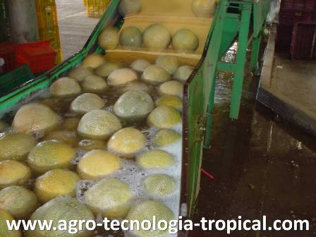 Lavado de frutas reduce incidencia de antracnosis en post cosecha